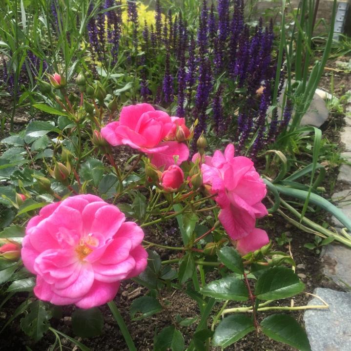 Rosen und Salbei