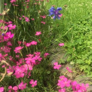Nelken und Kornblumenblau